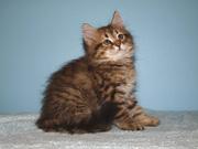 Siberian kittens