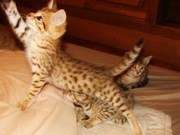 F5 and F2 Savannah Kittens for sale..F1 Sav kittens coming soon.