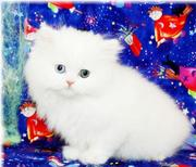 Two Adorable Persian Kittens For Adoption