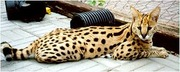 African serval kittens,  savannah f1-f5 ,  ocelots and caracl kittens