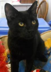 Domestic Short Hair - Andie - Medium - Young - Male - Cat  Read more: