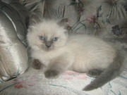 T.I.C.A Registered Ragdoll Kittens