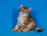Siberian kittens golden color