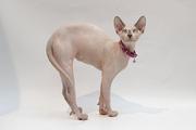 Продается шикарный шоколадный котик канадского сфинкса!