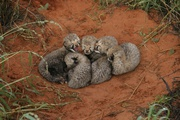 Gorgeous Cheetah cubs for sale