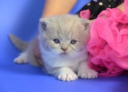 Cute British shot hair kittens for adoption