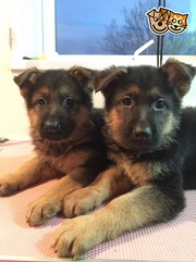 German Shepherd Puupies