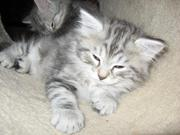 Hypo Allergenic Siberian Kittens for adoption