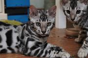 Rosetted Begal kittens