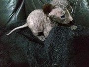 Adopt Healthy Male sPhynx Cat Call now (915) 996-2427