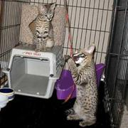 F1 savannah and bobcat kittens