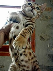 Ocelot caracals serval bengal and Savannah F1 TO F5 Kittens for sale