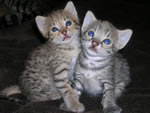 we have serval, Savannah, caracal, ocelot kittens for sale