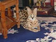 Help Adopt my Serval Kittens.