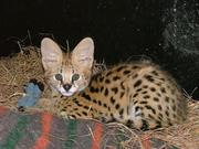 Beautiful  serval kittens,  Male and Female looking for home