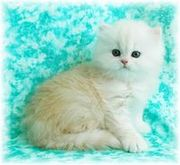 LOVELY PERSIAN KITTEN